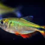 Buenos Aires Tetra 101: Care, Diet, Tank Size, Tank Mates & More