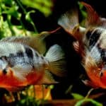 Firemouth Cichlid 101: Care, Diet, Tank Size, Tank Mates & More