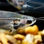 Glass Catfish 101: Care, Diet, Tank Size, Tank Mates & More