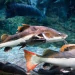 Redtail Catfish 101: Care, Diet, Tank size, Tank Mates & More