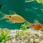 Rosy Barb 101: Care, Diet, Tank Size, Tank Mates & More