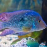 South American Cichlids 101: Care, Diet, Tank Size, Tank Mates & More